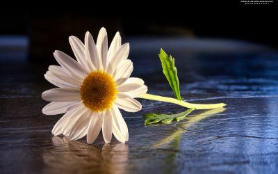 Daisy flower photo stacked