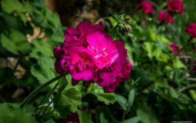 Garden Pink Flower