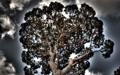 Pine Trees in Lebanon